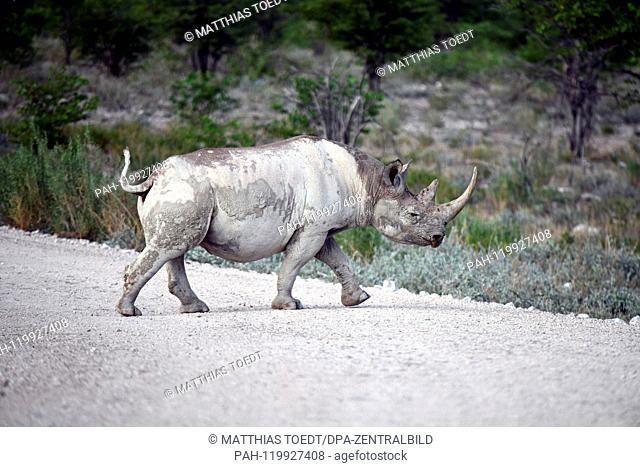 Black Rhinoceros in Etosha National Park crosses a path, taken on 05.03.2019. The Black Rhinoceros (Diceros bicornis) is an open savannah and the second largest...