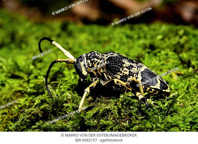 Longhorn beetles (Cerambycidae sp.) in moss, Amber Mountain, Madagascar
