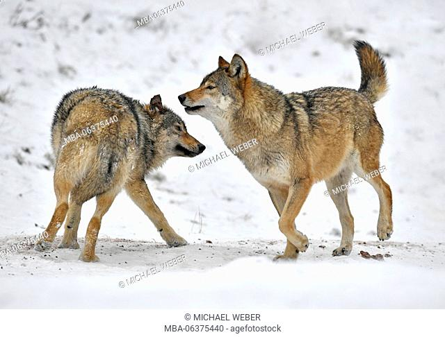 Algonquin wolf, eastern wolf (Canis lupus lycaon), captive, young animals play