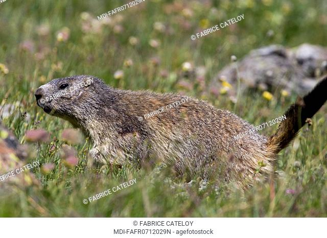 Nature - Fauna - Marmot - Marmot in the natural regional park of Queyras