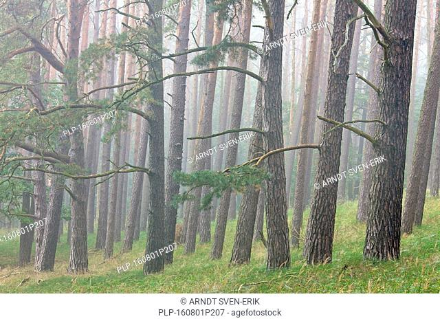 Scots Pine (Pinus sylvestris) tree trunks in coniferous forest in the mist
