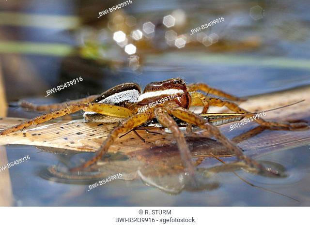 fimbriate fishing spider (Dolomedes fimbriatus), has caught a pond skater, Germany, Bavaria, Niederbayern, Lower Bavaria