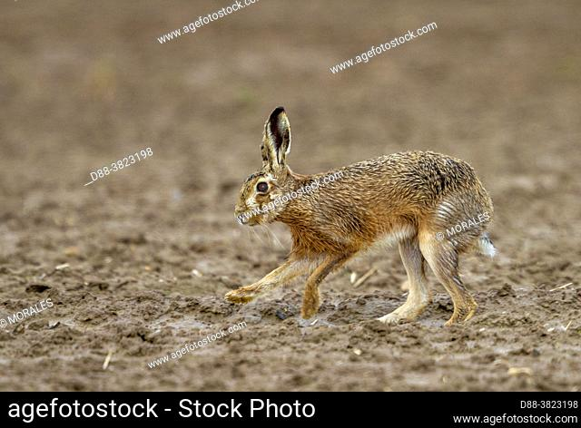 France, Department of Oise (60), Senlis region, arable land, European hare (Lepus europaeus), at the time of reproduction, run in the fields