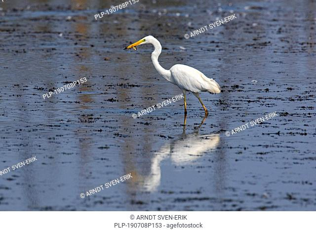 Great egret / common egret / great white egret (Ardea alba / Egretta alba) in shallow water of lake with caught fish in beak