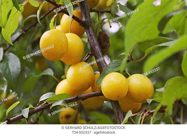 Mirabelle (Syrian Plum ), Prunus domestica ssp. Syriaca