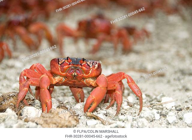 Christmas Island Red Crab Gecarcoidea natalis adults, mass on path during annual migration, Christmas Island, Australia