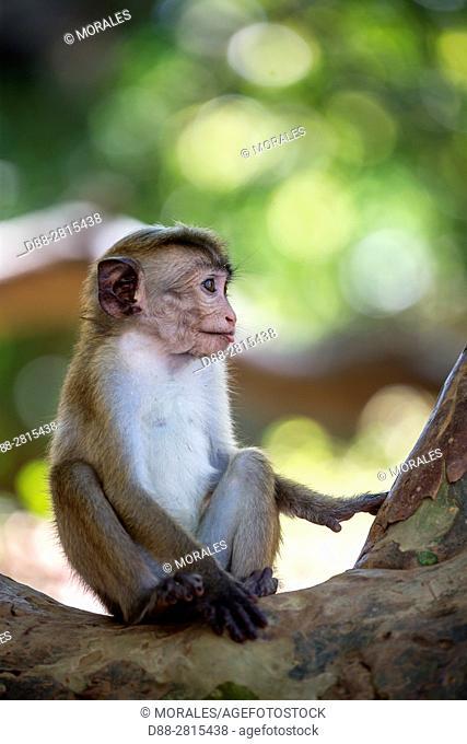 Sri Lanka, Yala national park, Toque macaque (Macaca sinica), baby