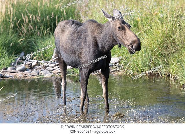 A moose strides through a water hole, Grand Tetons National Park, Teton County, Wyoming. USA