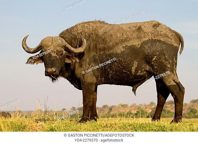 African buffalo or Cape buffalo (Syncerus caffer), Chobe National Park, Botswana