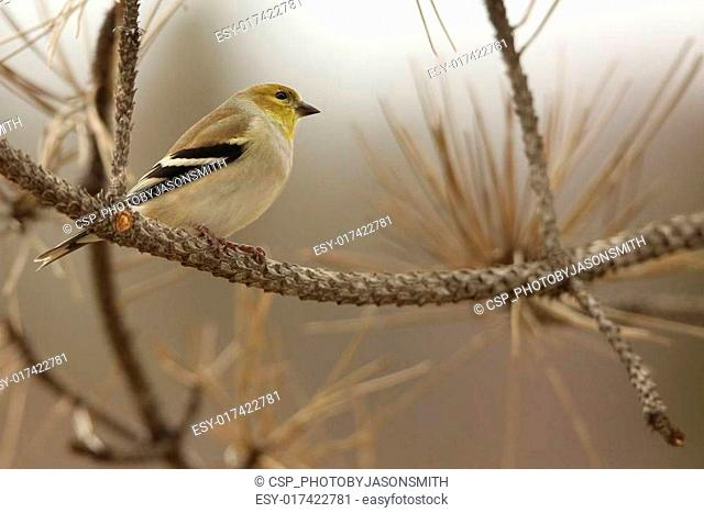 Pine Warbler on a branch