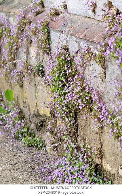Ivy-leaved toadflax Cymbalaria muralis
