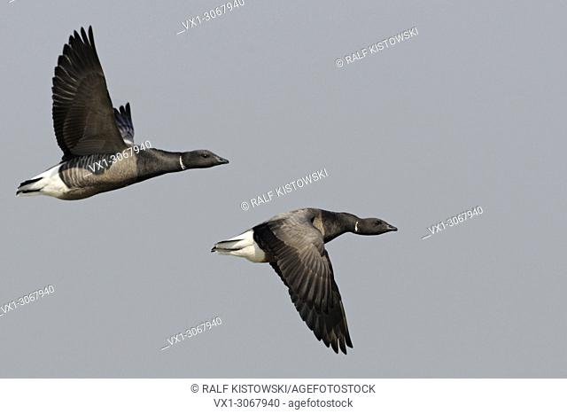 Brent Geese ( Branta bernicla ) two adult in flight, opposite wing posture, wildlife, Europe