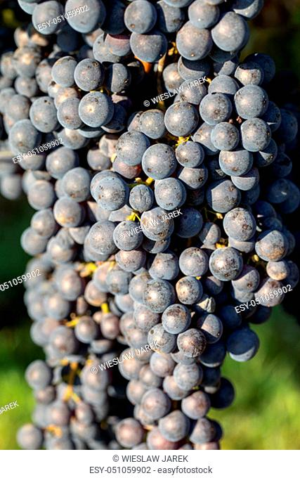 Close up of red merlot grapes in vineyard. St Emilion, Gironde, Aquitaine. France