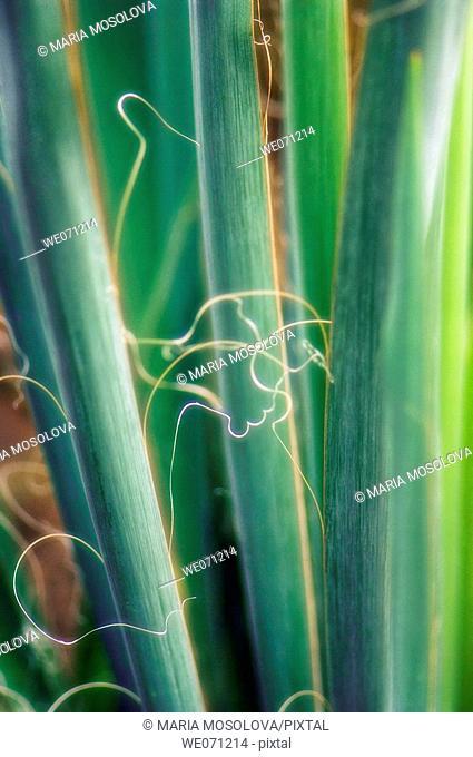 Spanish Bayonet Stems Close-up. Yucca aloifolia. September 2006, Maryland, USA