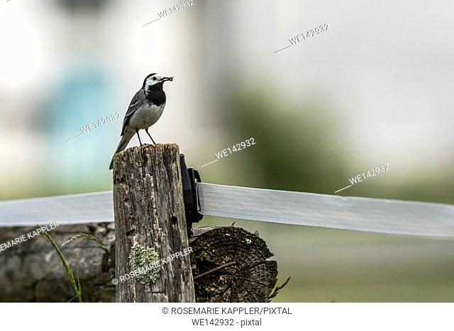 Germany, saarland, homburg - A white wagtail stays on a fencepost
