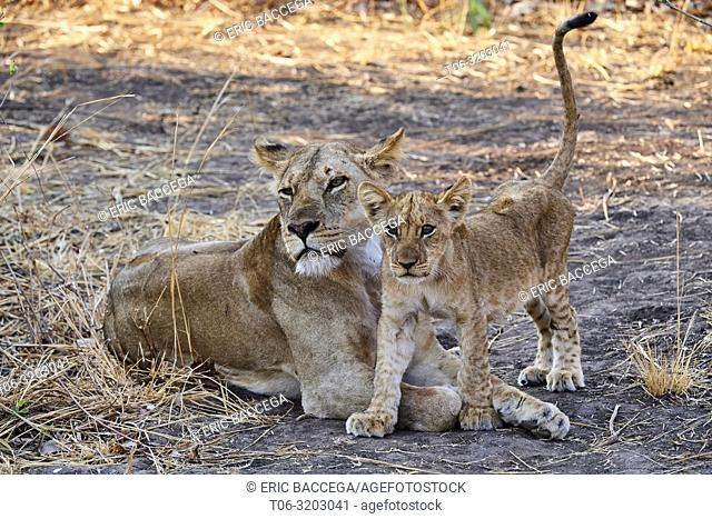 African lion (Panthera leo) female with cubs begging for more suckling, South Luangwa National Park, Zambia