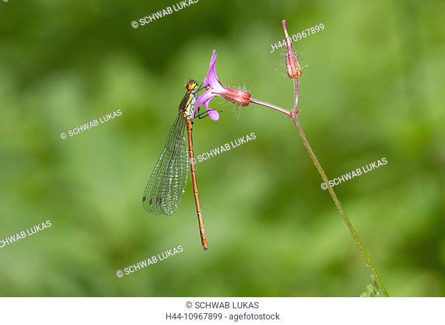 Animal, Insect, Dragonfly, Small Dragonfly, Arthropoda, Odonata, Large Red Damselfly, Damselfly, Pyrrhosoma nymphula, Switzerland