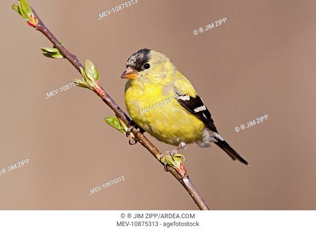 American Goldfinch. Male molting into spring plumage. (Carduelis tristis). April in CT. USA