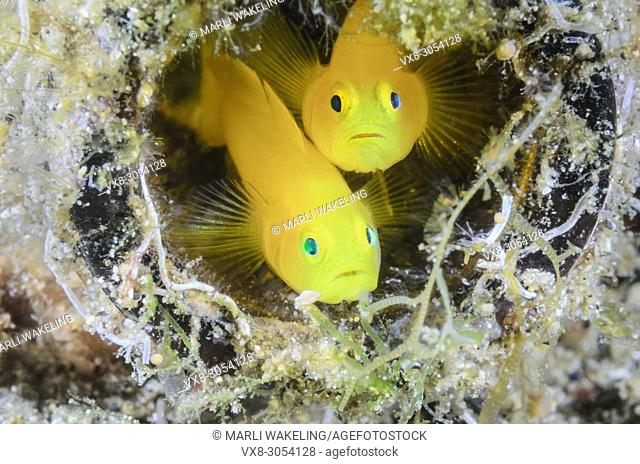 Yellow Pygmy Goby, Lubricogobius exiguus, Anilao, Batangas, Philippines, Pacific
