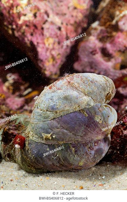 Slipper limpet, slippersnail, common slipper shell, common Atlantic slippersnail, boat shell, quarterdeck shell, fornicating slipper snail (Crepidula fornicata)