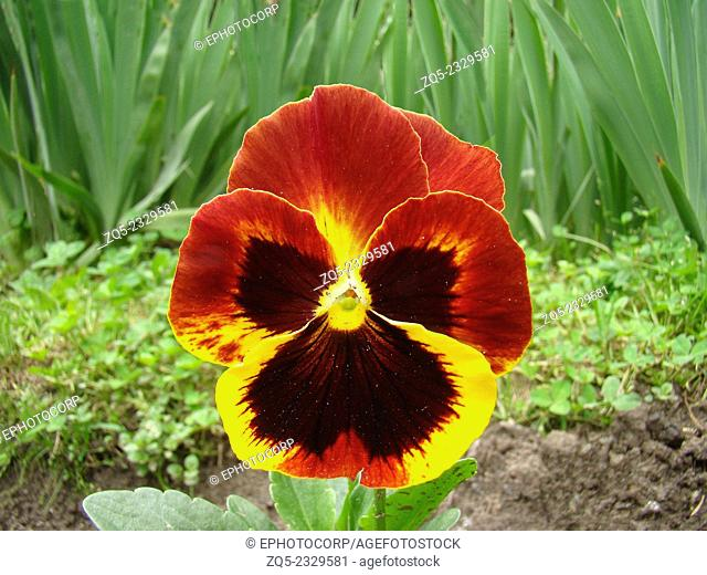 Pansy,Viola x wittrockiana Flower, The Pansy is a plant cultivated as a garden flower, India
