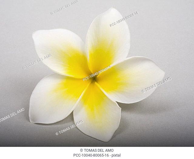 Studio shot of yellow plumeria on white background