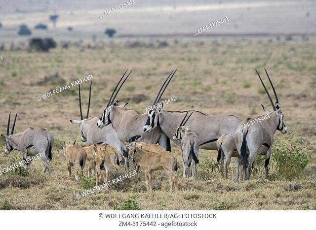 A herd of East African oryx (Oryx beisa) with calves is walking through the grasslands at the Lewa Wildlife Conservancy in Kenya