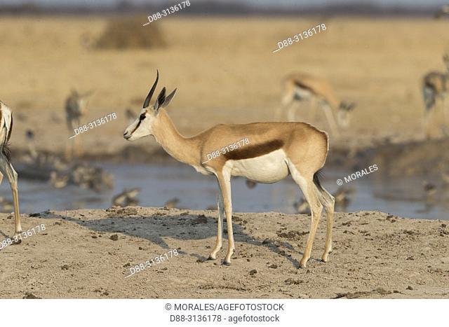 Africa, Southern Africa, Bostwana, Nxai pan national park, Springbok (Antidorcas marsupialis), adults. around a water hole