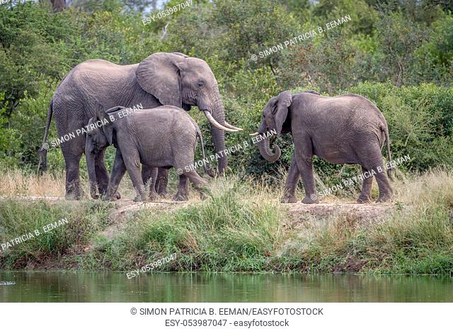 Herd of Elephants walking next to the water in the Kruger National Park, South Africa