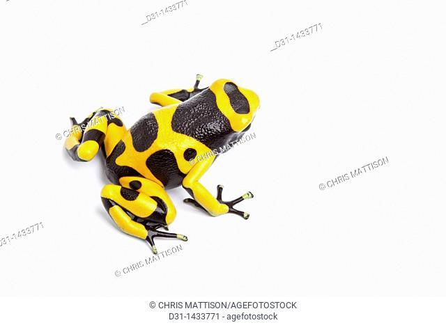 Yellow and black poison dart frog (Dendrobates leucomelas) on white background