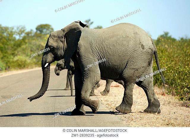 Elephants (Loxodonta africana) crossing road, Kruger National Park, Transvaal, South Africa
