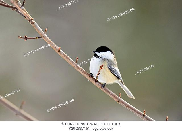 Black capped chickadee (Poecile atricapillus), Greater Sudbury (Lively), Ontario, Canada