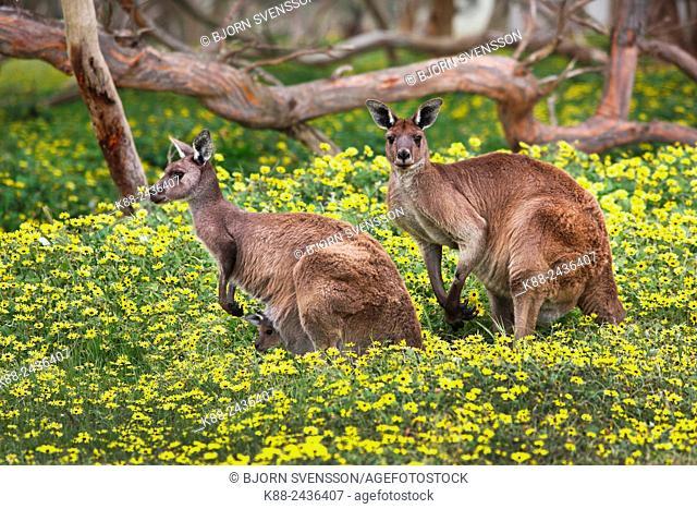 Kangaroos. Deep Creek Conservation Park, Flerieu Peninsula, South Australia