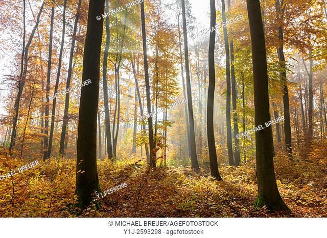 Beech forest on misty morning, Autumn, Nature Park, Spessart, Bavaria, Germany, Europe