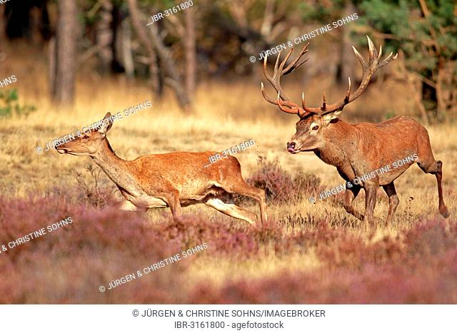 Red Deer (Cervus elaphus) adult, couple, Hoge Veluwe National Park, Gelderland, The Netherlands