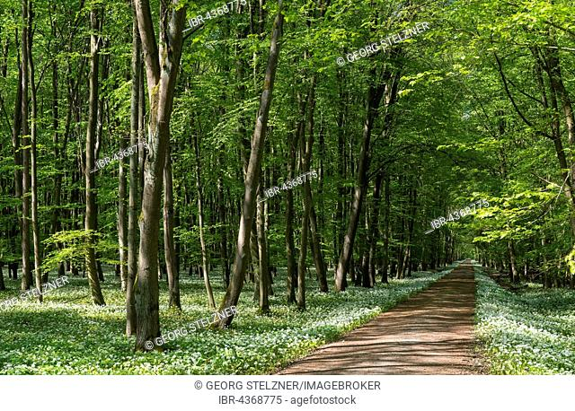 Path through deciduous forest with blooming wild garlic (Allium ursinum) in spring, Rüsselsheim am Main, Hesse, Germany