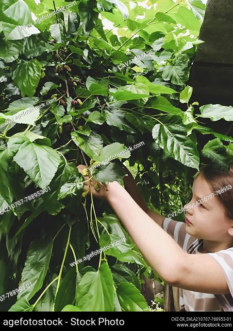 Girl picks ripe mulberries from a mulberry tree in the garden