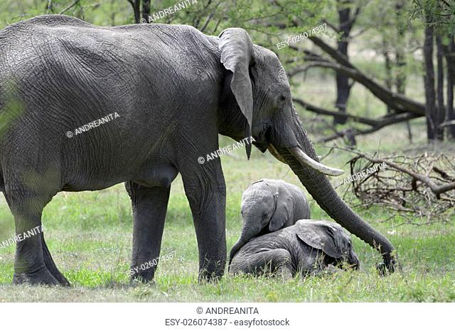 African Elephant (Loxodonta africana) adult with two young baby playing, standing in woodland, Serengeti national park, Tanzania