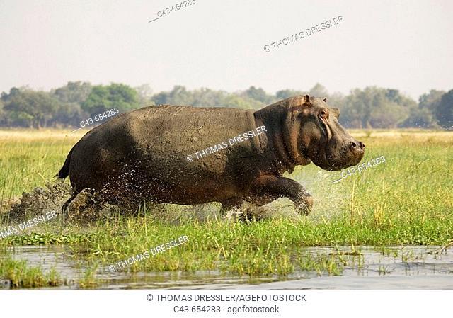 Hippopotamus (Hippopotamus amphibius). Startled bull running through the shallow water at a grassy island in the Zambezi River
