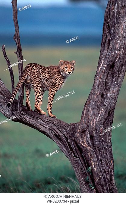 Cheetah, on, tree, Massai, Mara, Game, Reserve, Kenya, Acinonyx, jubatus