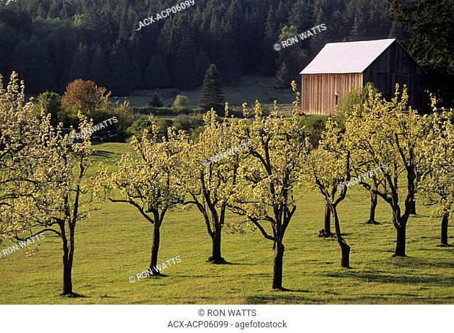 Old apple orchard in bloom, Ruckle Provincial Park, Saltspring Island, British Columbia, Canada