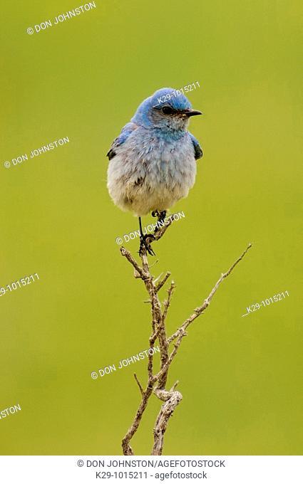 Mountain bluebird Sialia currocoides