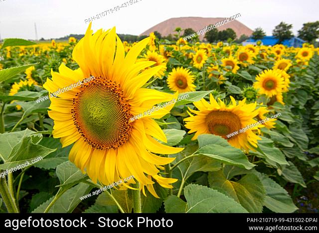 """16 July 2021, Saxony-Anhalt, Zielitz: Sunflowers bloom at the foot of a tailings pile from the """"""""Zielitz potash plant K+S Minerals and Agriculture"""""""""""