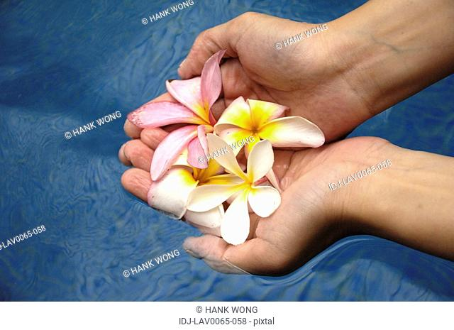 Close-up of a woman holding frangipani flowers