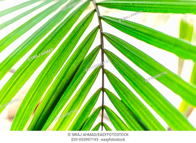 Close up thin green palm leaves with stem
