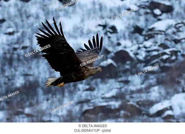 White tailed eagle in flight, Lofoten and Vesteralen Islands, Norway