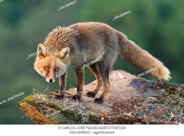 Red fox (vulpes vulpes) ,  Parque Nacional de Monfragüe, Caceres, Extremadura, Spain