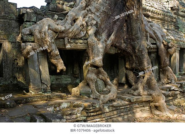 Kapok tree growing in the ruins of Preah Khan Temple, Angkor, UNESCO World Heritage Site, Siem Reap, Cambodia