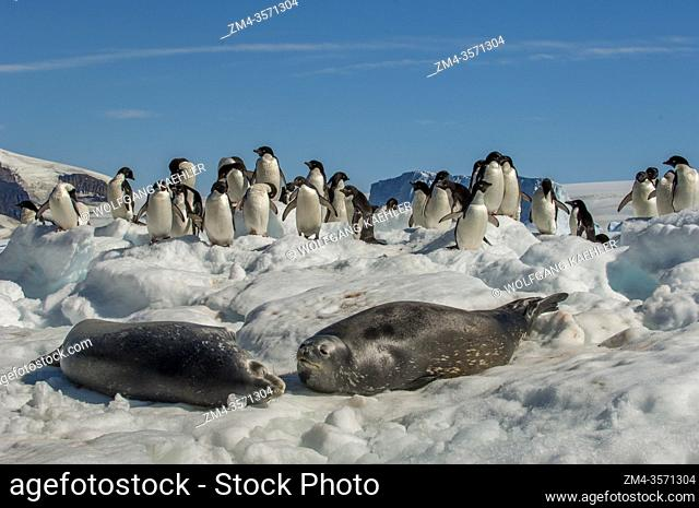 Adelie penguins (Pygoscelis adeliae) and Weddell seals on ice floes at Paulet Island at the tip of the Antarctic Peninsula