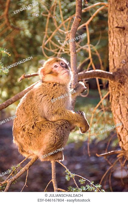 Wildlife shot of a barbary macaque monkey sitting in a tree looking towards the sky in the National Park of Ifrane, Morocco
